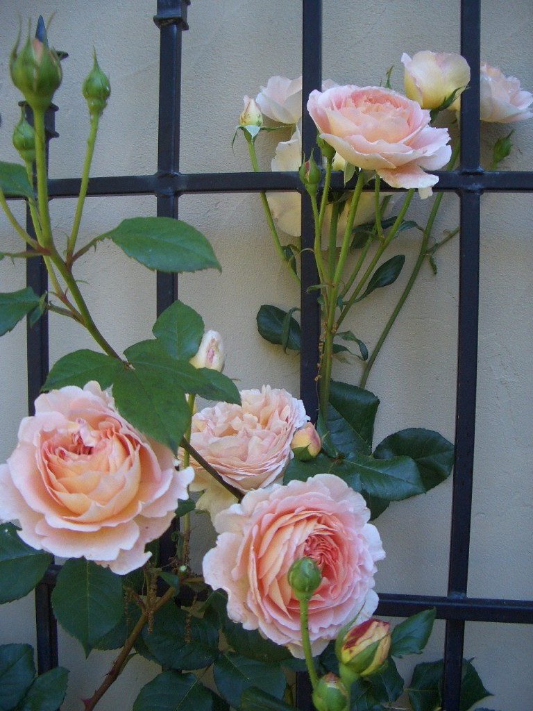'Abraham Darby;' the first rose I fell in love with many years ago.