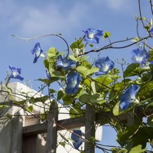 blue morning glory