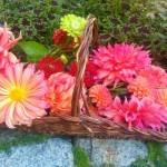 Dahlias: Stars of the Autumn Garden