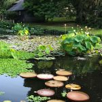 Water Lilies: Jewels of the Aquatic World
