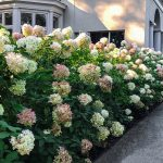 'Limelight' Hydrangeas: An Autumn Gift from the Garden