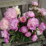 Peony Madness: How to Make the Most of a Fleeting Season