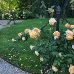 June in Newport: All About Roses