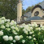 Parterre's Bountiful 'Limelight' Hydrangeas